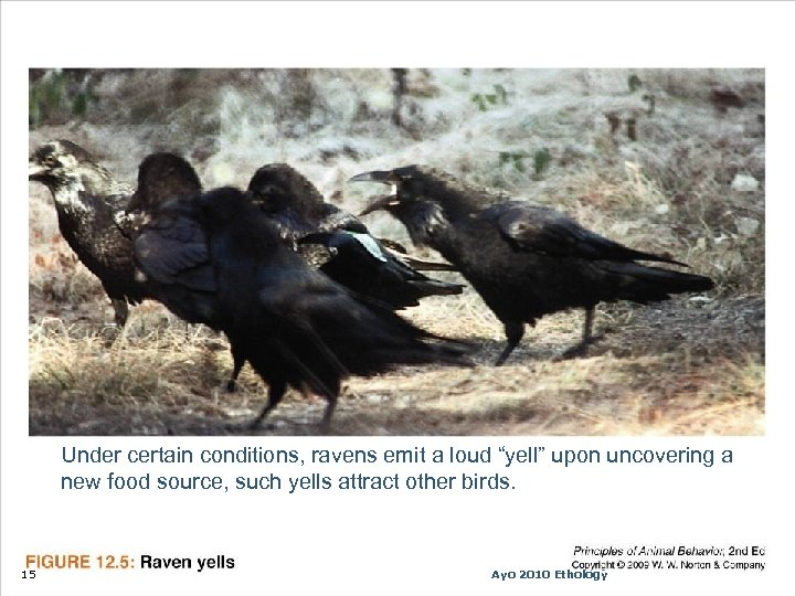 """Under certain conditions, ravens emit a loud """"yell"""" upon uncovering a new food source,"""
