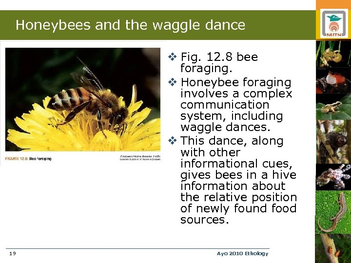 Honeybees and the waggle dance v Fig. 12. 8 bee foraging. v Honeybee foraging