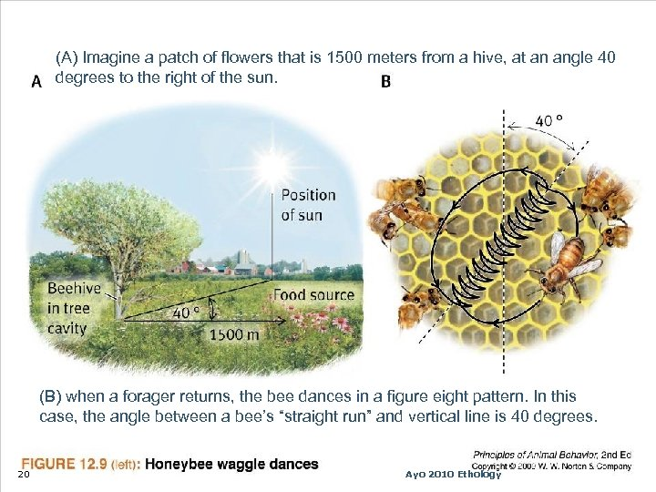 (A) Imagine a patch of flowers that is 1500 meters from a hive, at