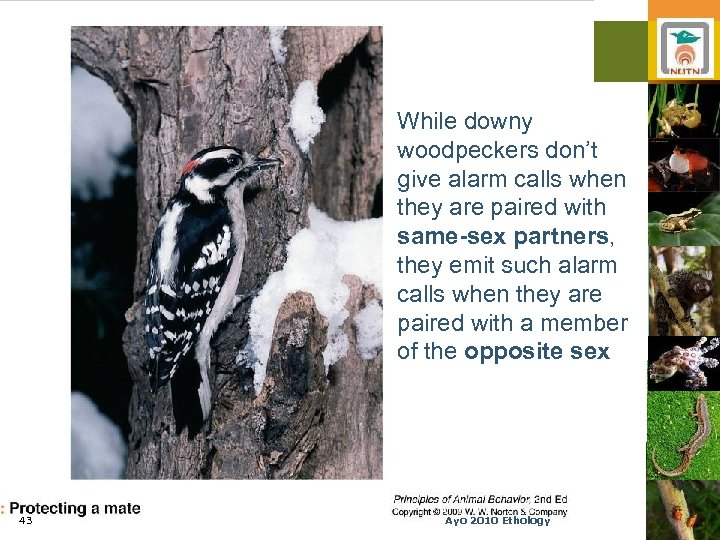 While downy woodpeckers don't give alarm calls when they are paired with same-sex partners,