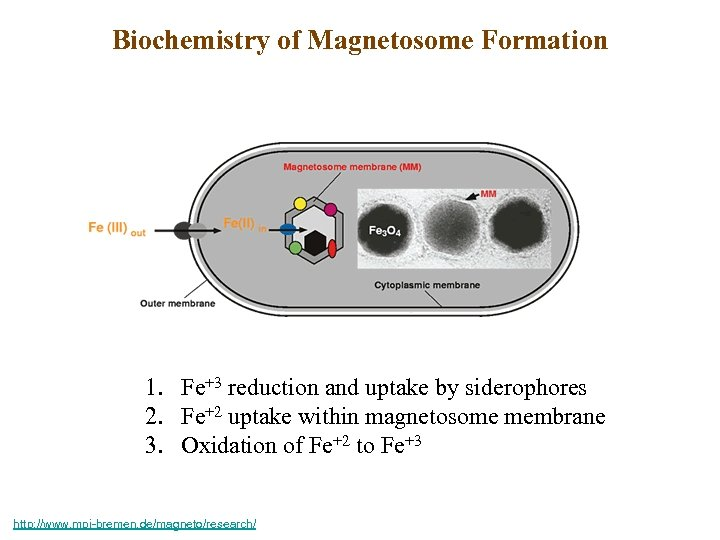 Biochemistry of Magnetosome Formation 1. Fe+3 reduction and uptake by siderophores 2. Fe+2 uptake