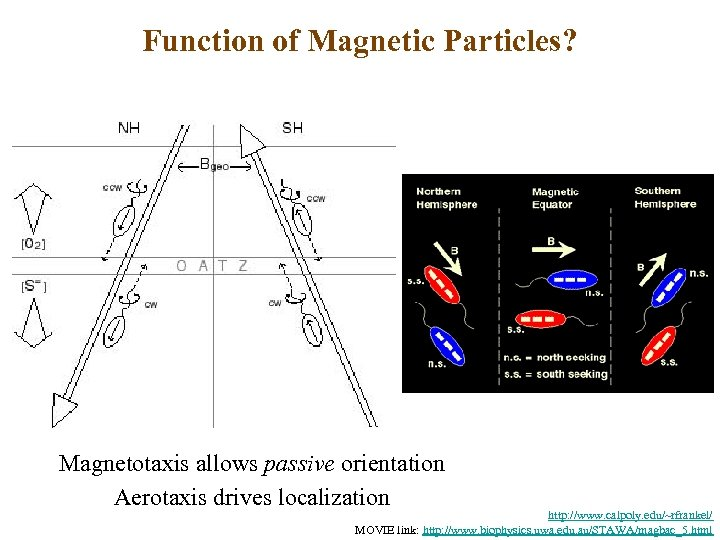 Function of Magnetic Particles? Magnetotaxis allows passive orientation Aerotaxis drives localization http: //www. calpoly.
