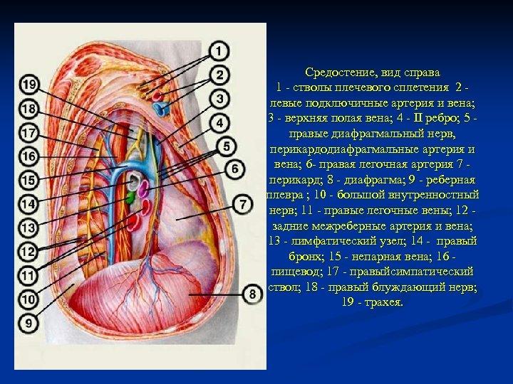 Средостение, вид справа 1 - стволы плечевого сплетения 2 - левые подключичные артерия и