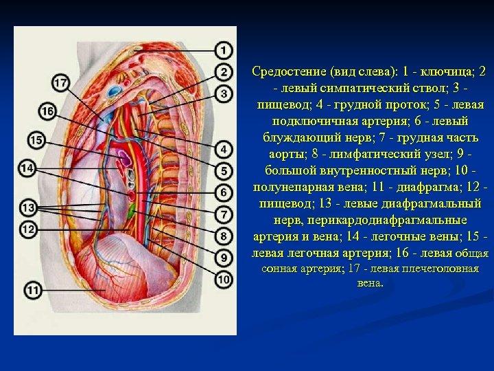 Средостение (вид слева): 1 - ключица; 2 - левый симпатический ствол; 3 - пищевод;