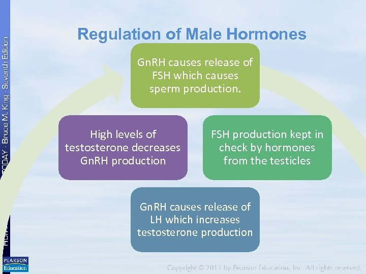 Regulation of Male Hormones Gn. RH causes release of FSH which causes sperm production.