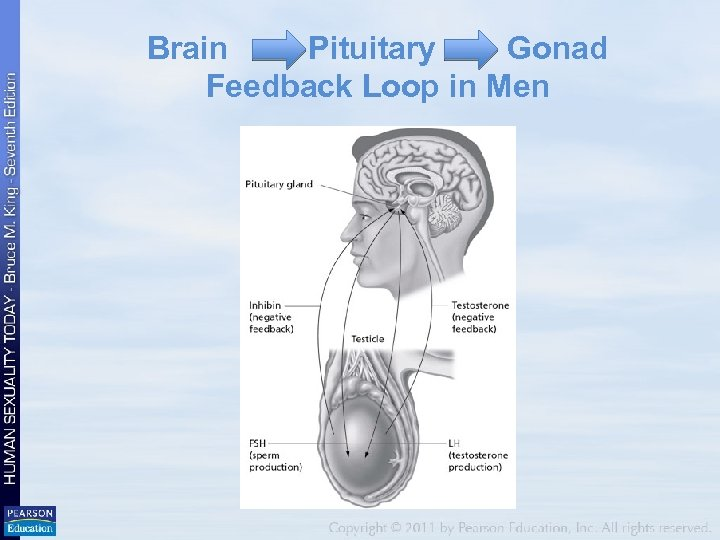 Brain Pituitary Gonad Feedback Loop in Men