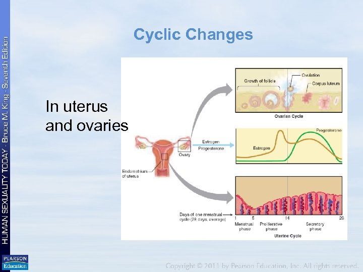 Cyclic Changes In uterus and ovaries