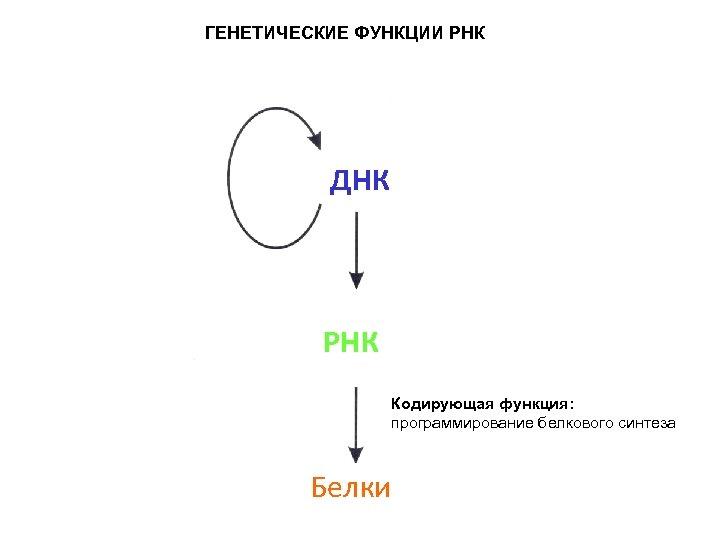 ГЕНЕТИЧЕСКИЕ ФУНКЦИИ РНК ДНК РНК Кодирующая функция: программирование белкового синтеза Белки