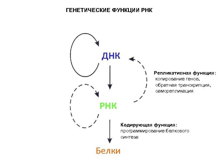 ГЕНЕТИЧЕСКИЕ ФУНКЦИИ РНК ДНК Репликативная функция: копирование генов, обратная транскрипция, саморепликация РНК Кодирующая функция: