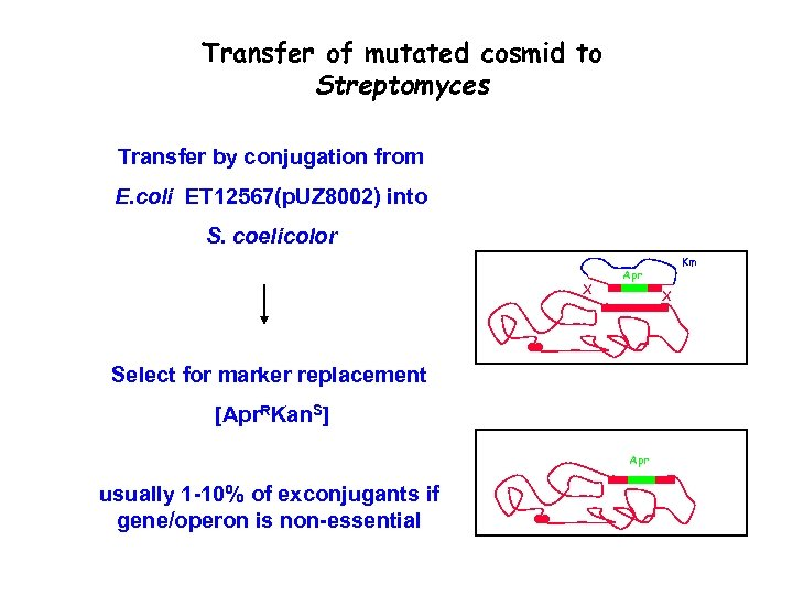 Transfer of mutated cosmid to Streptomyces Transfer by conjugation from E. coli ET 12567(p.