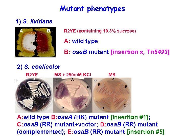 Mutant phenotypes 1) S. lividans A B R 2 YE (containing 10. 3% sucrose)