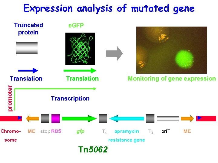 Expression analysis of mutated gene Truncated protein e. GFP promoter Translation Chromo- Translation Monitoring