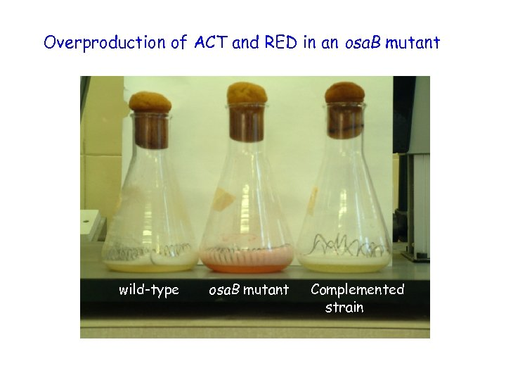 Overproduction of ACT and RED in an osa. B mutant wild-type osa. B mutant