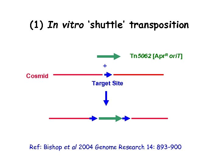 (1) In vitro 'shuttle' transposition • Transposition is (fairly) random • Target site is