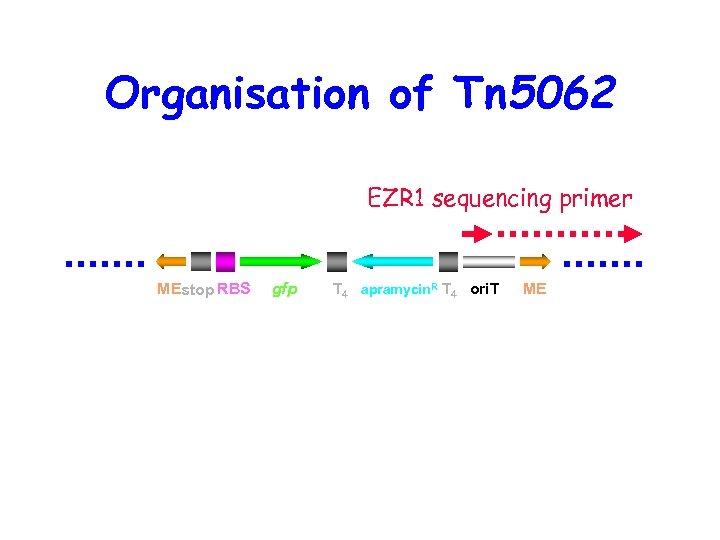 Organisation of Tn 5062 EZR 1 sequencing primer MEstop RBS gfp T 4 apramycin.