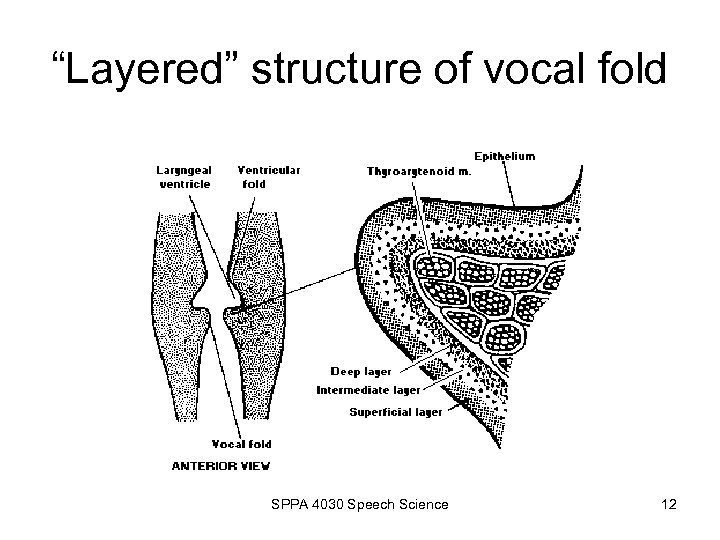 """""""Layered"""" structure of vocal fold SPPA 4030 Speech Science 12"""