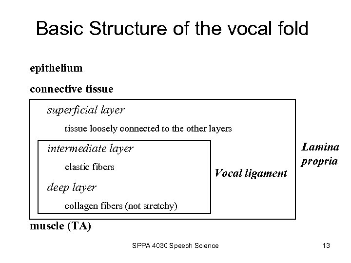 Basic Structure of the vocal fold epithelium connective tissue superficial layer tissue loosely connected