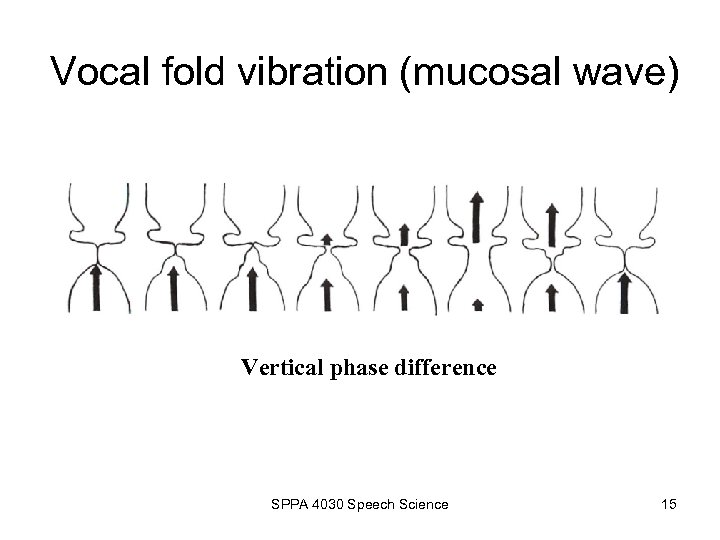 Vocal fold vibration (mucosal wave) Vertical phase difference SPPA 4030 Speech Science 15
