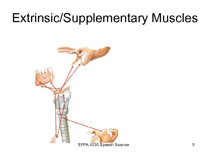 Extrinsic/Supplementary Muscles SPPA 4030 Speech Science 5