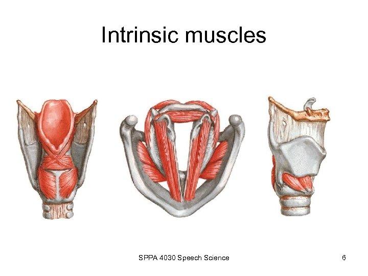 Intrinsic muscles SPPA 4030 Speech Science 6