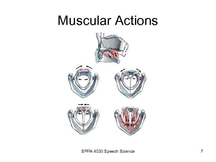 Muscular Actions SPPA 4030 Speech Science 7
