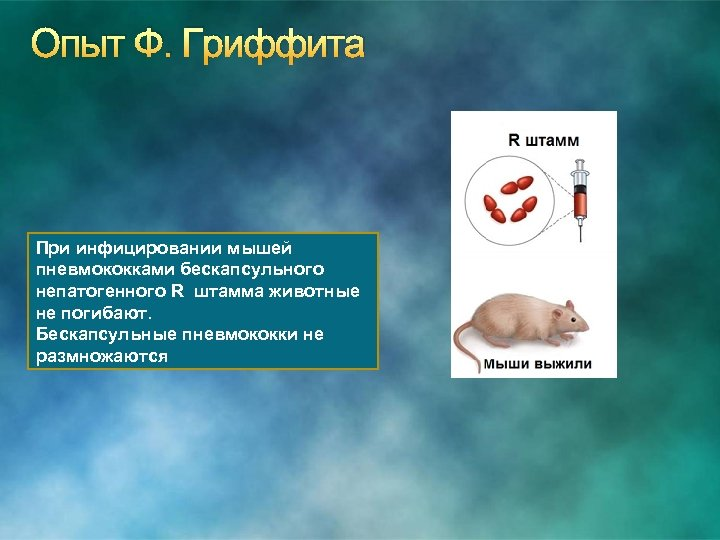Опыт Ф. Гриффита При инфицировании мышей пневмококками бескапсульного непатогенного R штамма животные не погибают.