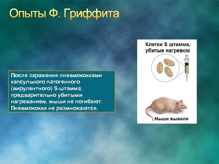 Опыты Ф. Гриффита После заражения пневмококками капсульного патогенного (вирулентного) S-штамма, предварительно убитыми нагреванием, мыши