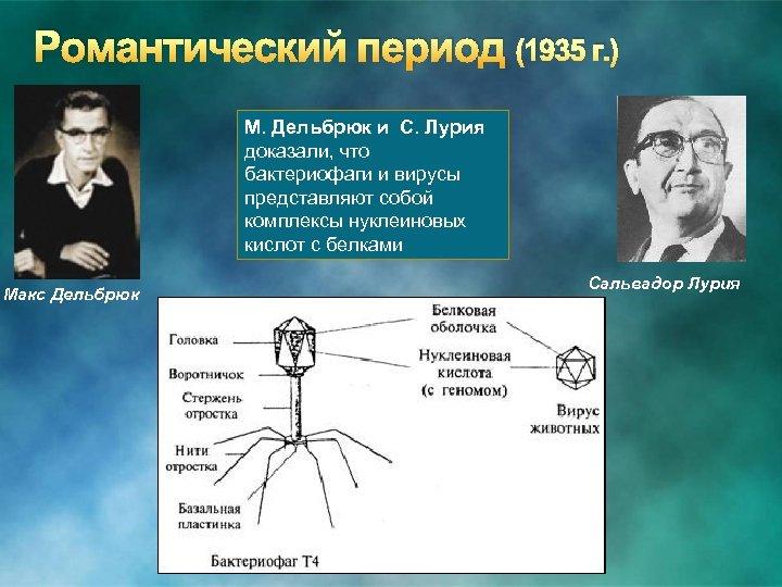 Романтический период (1935 г. ) М. Дельбрюк и С. Лурия доказали, что бактериофаги и