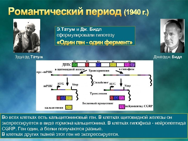Романтический период (1940 г. ) Э. Татум и Дж. Бидл сформулировали гипотезу «Один ген