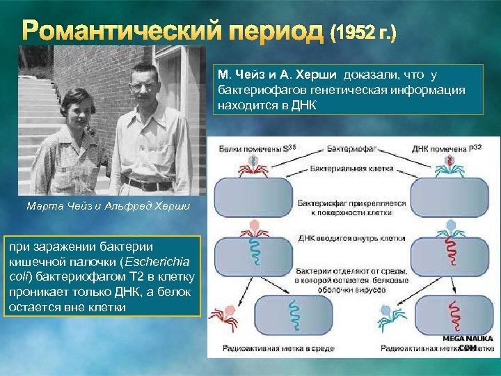 Романтический период (1952 г. ) М. Чейз и А. Херши доказали, что у бактериофагов