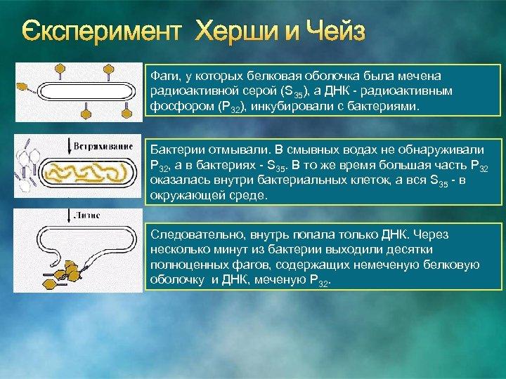 Эксперимент Херши и Чейз Фаги, у которых белковая оболочка была мечена радиоактивной серой (S