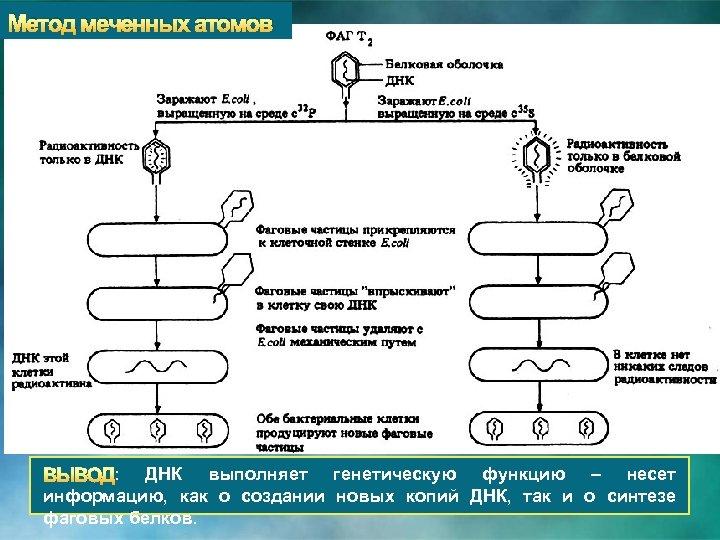 Метод меченных атомов : ДНК выполняет генетическую функцию – несет информацию, как о создании