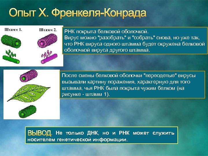 Опыт Х. Френкеля Конрада РНК покрыта белковой оболочкой. Вирус можно