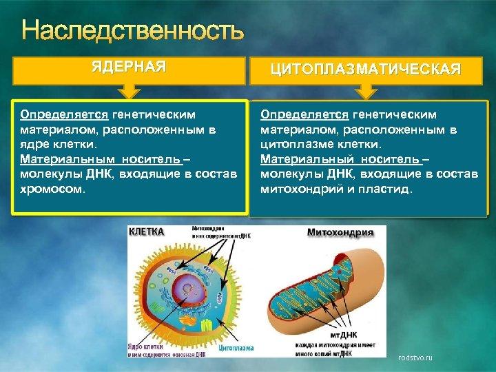 Наследственность ЯДЕРНАЯ ЦИТОПЛАЗМАТИЧЕСКАЯ Определяется генетическим материалом, расположенным в ядре клетки. Материальным носитель – молекулы