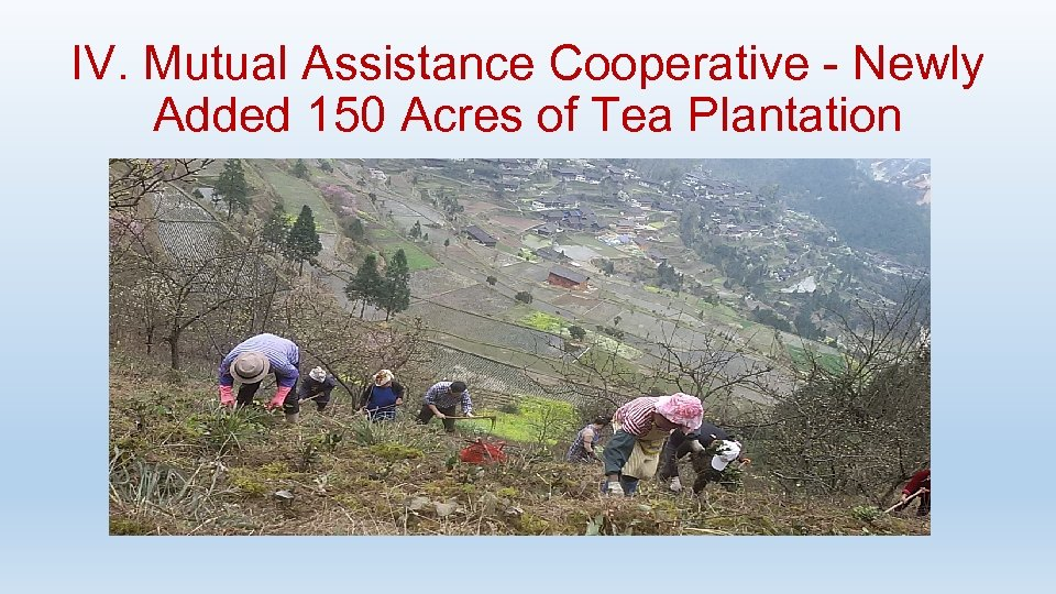 IV. Mutual Assistance Cooperative - Newly Added 150 Acres of Tea Plantation