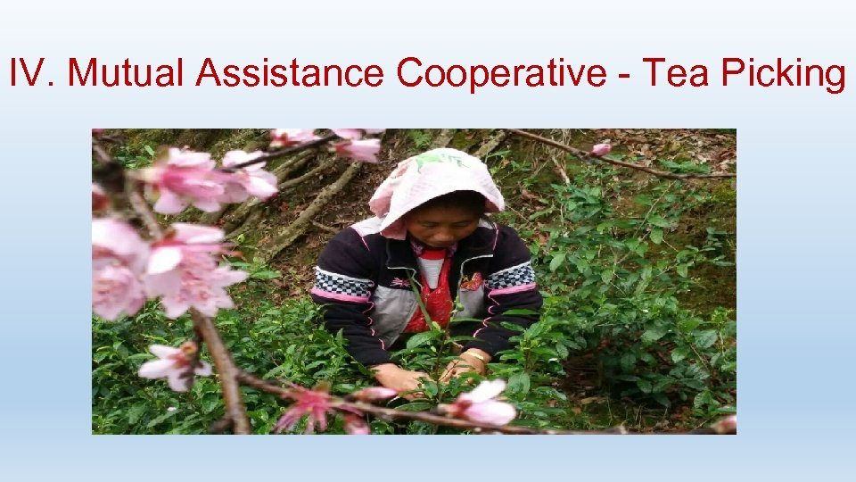 IV. Mutual Assistance Cooperative - Tea Picking
