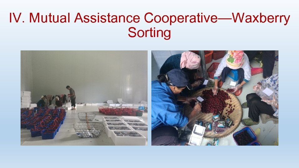 IV. Mutual Assistance Cooperative—Waxberry Sorting