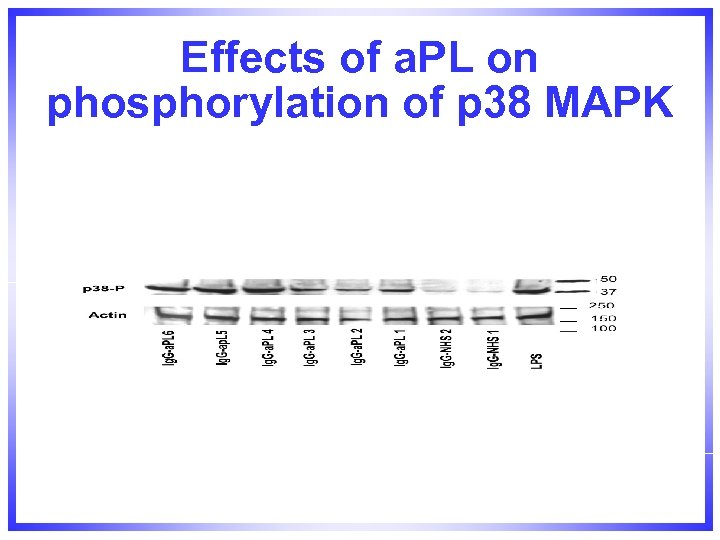 Effects of a. PL on phosphorylation of p 38 MAPK