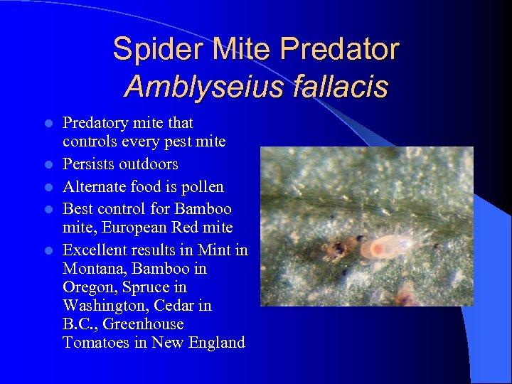 Spider Mite Predator Amblyseius fallacis l l l Predatory mite that controls every pest