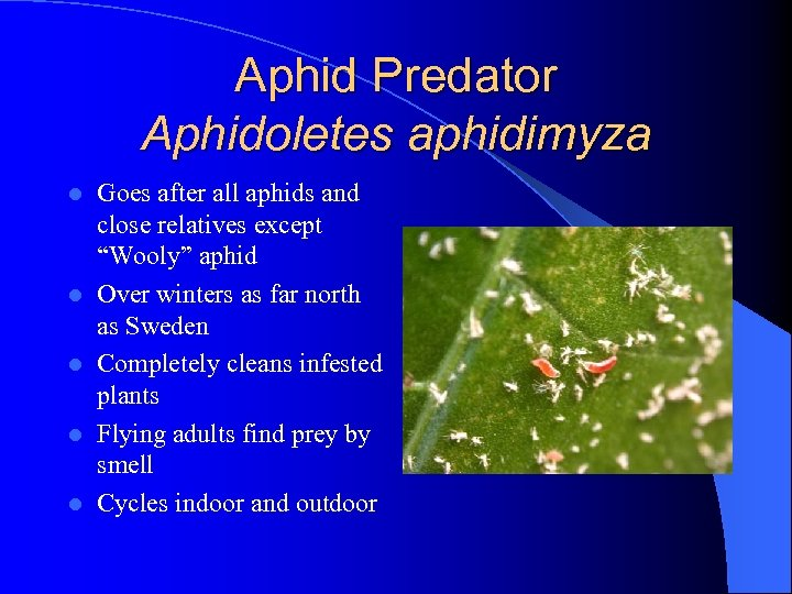 Aphid Predator Aphidoletes aphidimyza l l l Goes after all aphids and close relatives
