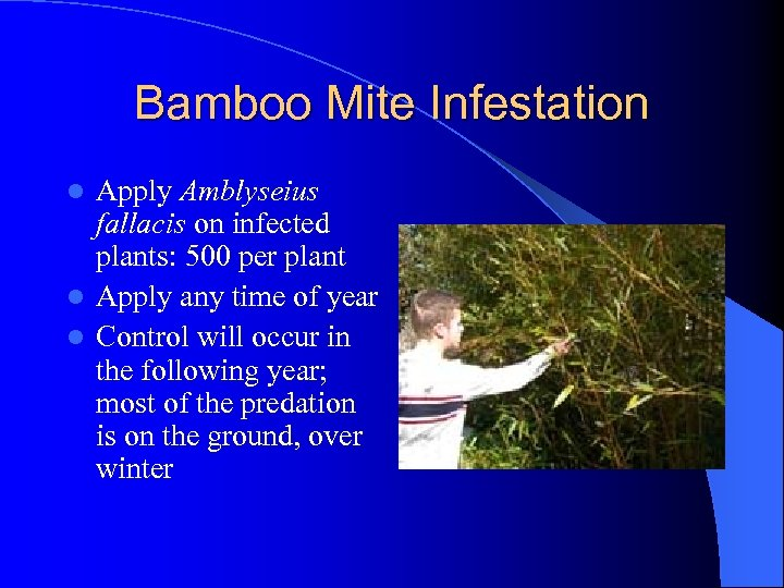 Bamboo Mite Infestation Apply Amblyseius fallacis on infected plants: 500 per plant l Apply