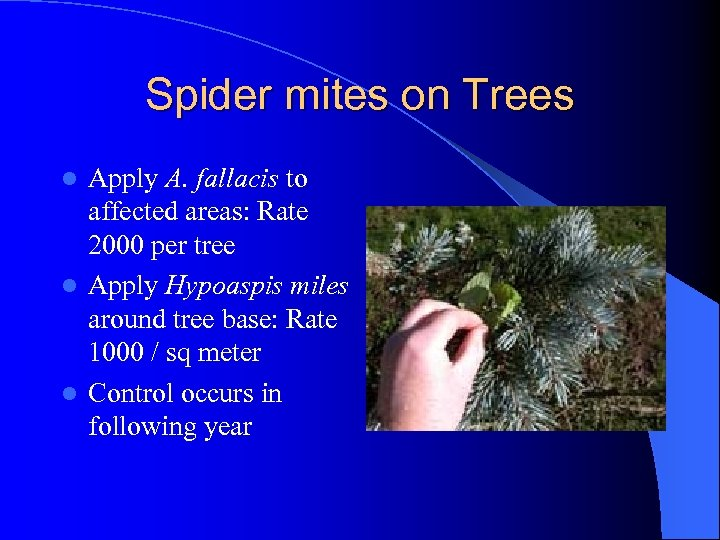 Spider mites on Trees Apply A. fallacis to affected areas: Rate 2000 per tree