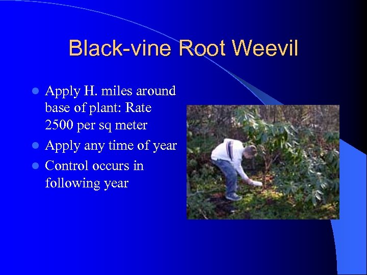 Black-vine Root Weevil Apply H. miles around base of plant: Rate 2500 per sq