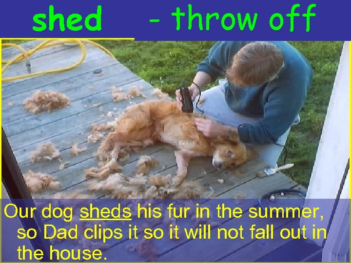 shed - throw off Our dog sheds his fur in the summer, so Dad