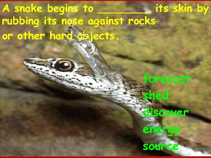 A snake begins to ____ its skin by rubbing its nose against rocks or