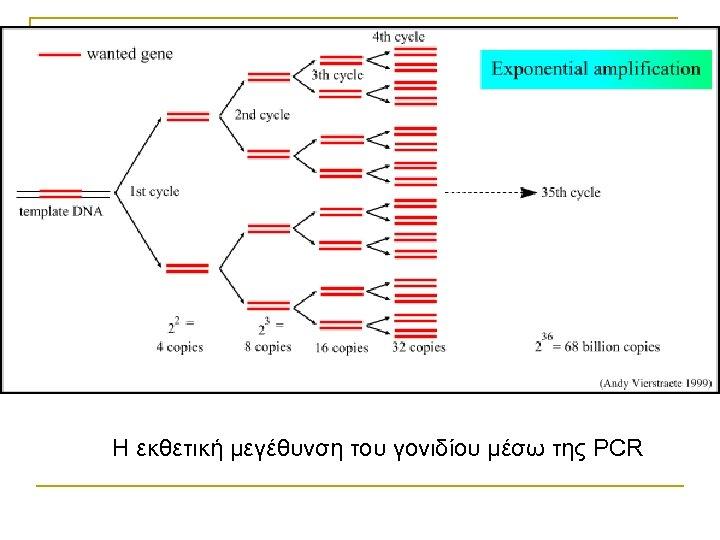 Η εκθετική μεγέθυνση του γονιδίου μέσω της PCR