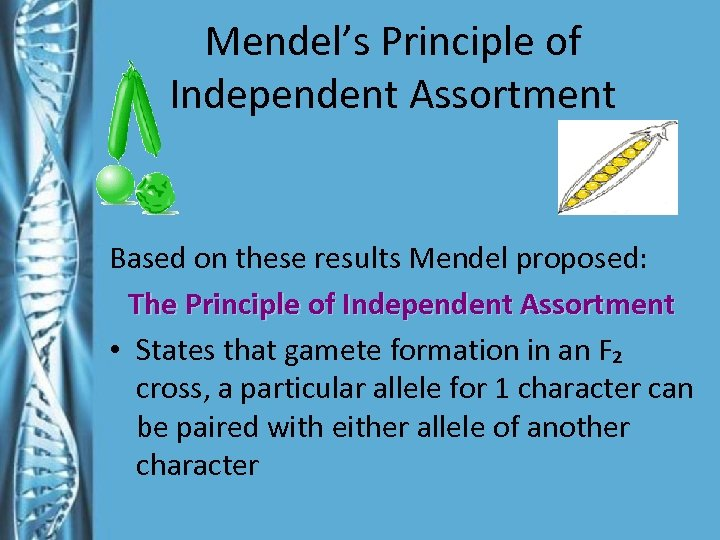 Mendel's Principle of Independent Assortment Based on these results Mendel proposed: The Principle of