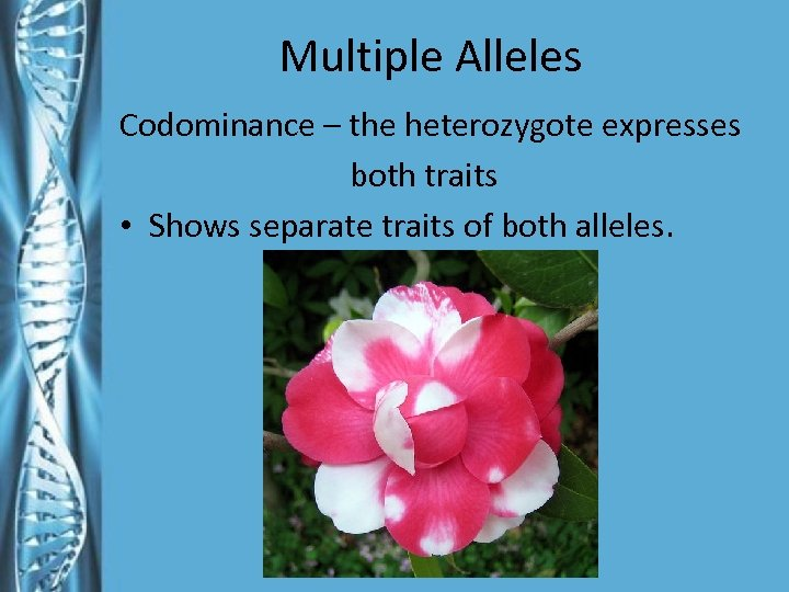 Multiple Alleles Codominance – the heterozygote expresses both traits • Shows separate traits of