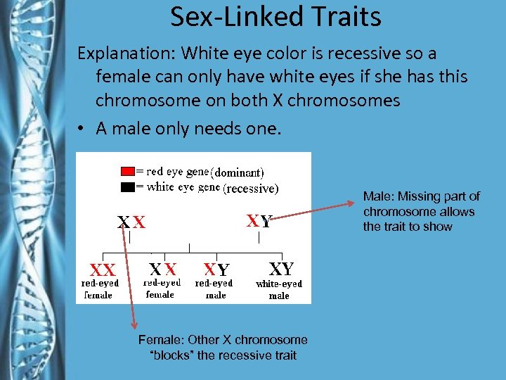 Sex-Linked Traits Explanation: White eye color is recessive so a female can only have