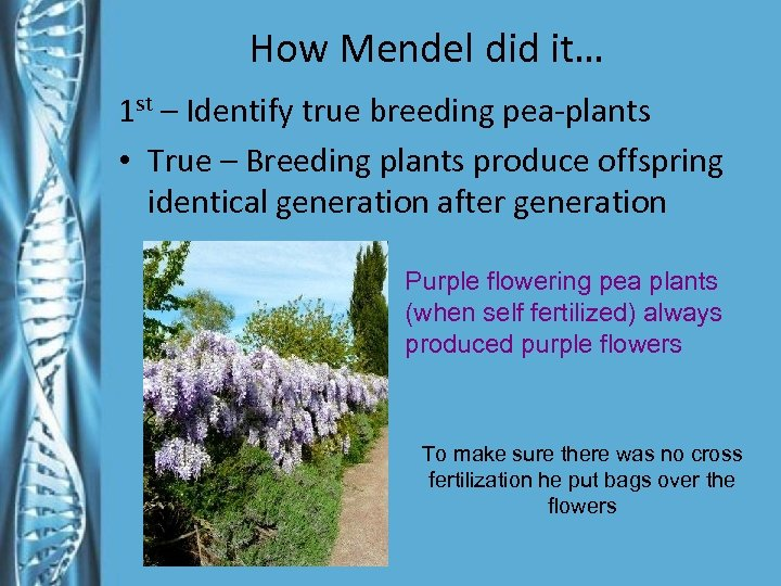 How Mendel did it… 1 st – Identify true breeding pea-plants • True –
